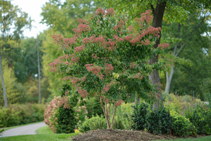 Heptacodium Temple of Bloom has red bracts through autumn