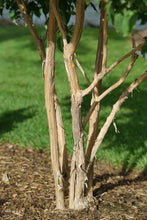 Load image into Gallery viewer, Heptacodium Temple of Bloom has naturally peeling bark