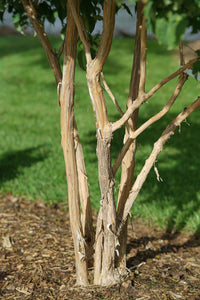 Heptacodium Temple of Bloom has naturally peeling bark