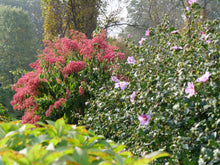 Load image into Gallery viewer, Heptacodium Temple of Bloom with Rose of Sharon in the foreground