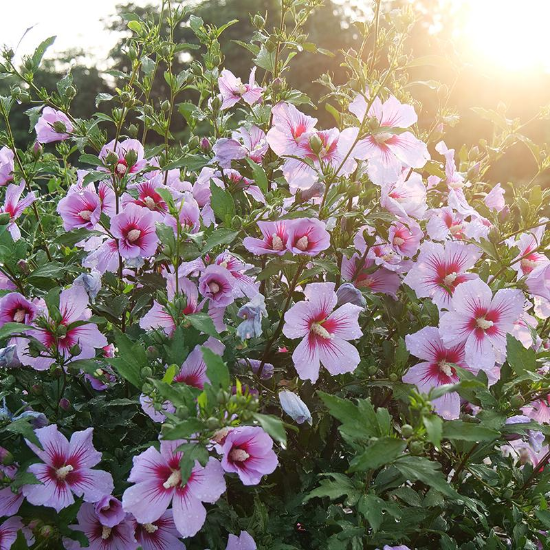 Hibiscus Orchid Satin® - Rose of Sharon