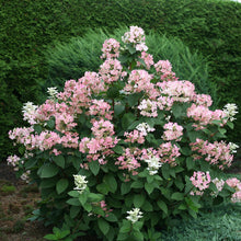 Load image into Gallery viewer, Hydrangea paniculata Quick Fire® - Panicle Hydrangea
