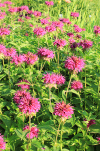 Raspberry Wine bee balm has bright pink flowers that attract pollinators