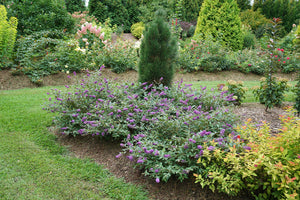 Three well established butterfly bush plants bloom in front of a dwarf pine.