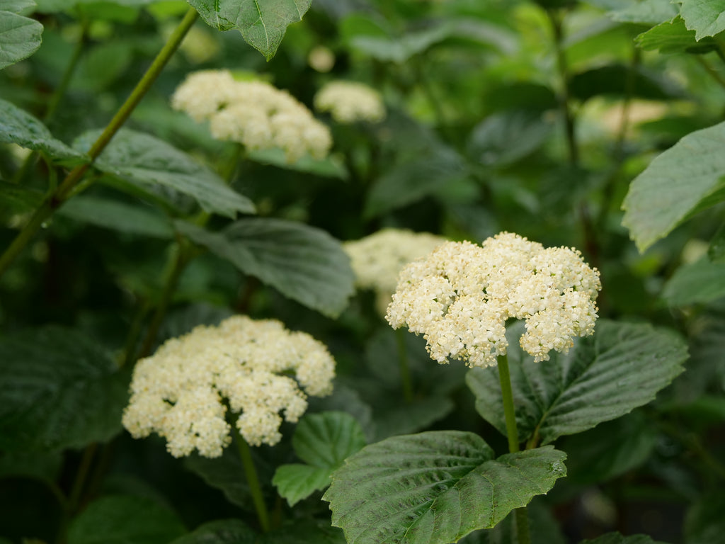 White flowers on a viburnum.