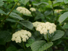 Load image into Gallery viewer, Three clusters of white flowers on All That Glows viburnum