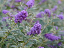 Load image into Gallery viewer, Closeup of the purple blue flower spikes of Lo and Behold Blue Chip butterfly bush