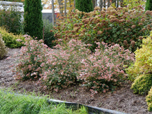 Load image into Gallery viewer, Three Ruby Anniversary abelia plants bloom in a low hedge, with many pink bracts visible