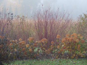 Arctic Fire Red dogwood in a landscape in autumn showing its red winter stems