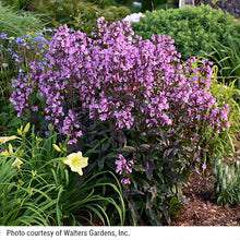 Load image into Gallery viewer, Penstemon Midnight Masquerade blooming in a perennial garden with daylilies.