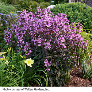 Penstemon Midnight Masquerade blooming in a perennial garden with daylilies.
