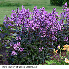 Load image into Gallery viewer, A sunlit specimen of Midnight Masquerade penstemon.