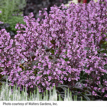 Load image into Gallery viewer, The lavender blooms of Midnight Masquerade penstemon with White Wands veronica in the foreground.