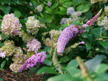 Load image into Gallery viewer, Buddleia Pugster Pink®-  Butterfly Bush