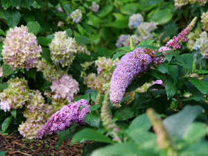 Buddleia Pugster Pink®-  Butterfly Bush