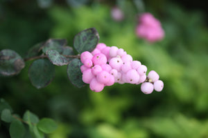 Symphoricarpos Proud Berry has unusual pink berries in the fall
