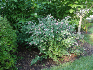 Symphoricarpos Proud Berry is a food source for snowberry clearwing caterpillars