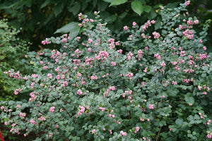 Symphoricarpos Proud Berry is super tough and durable and attracts pollinators