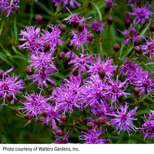Vernonia 'Southern Cross' - Ironweed