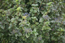 Load image into Gallery viewer, All That Glitters viburnum, a large shrub with glossy foliage and blue berries.