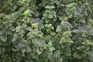 All That Glitters viburnum, a large shrub with glossy foliage and blue berries.