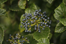 Load image into Gallery viewer, A cluster of deep blue fruit on All That Glows viburnum