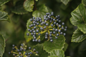 A cluster of deep blue fruit on All That Glows viburnum