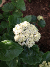 Load image into Gallery viewer, A cluster of white flowers on All That Glitters viburnum