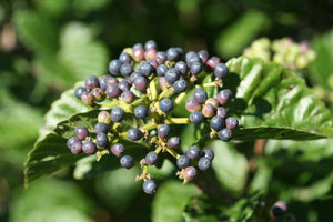 A closeup of the maturing blue fruit on All That Glows viburnum