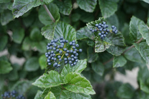 Two clusters of blue fruits on All That Glitters viburnum.