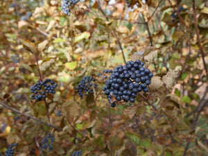 Blue berries in late autumn on All That Glitters viburnum