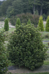 A single plant of All That Glows viburnum in a landscape