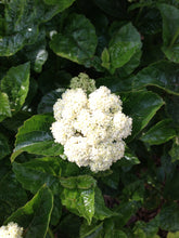 Load image into Gallery viewer, A closeup of a flower on All That Glows viburnum