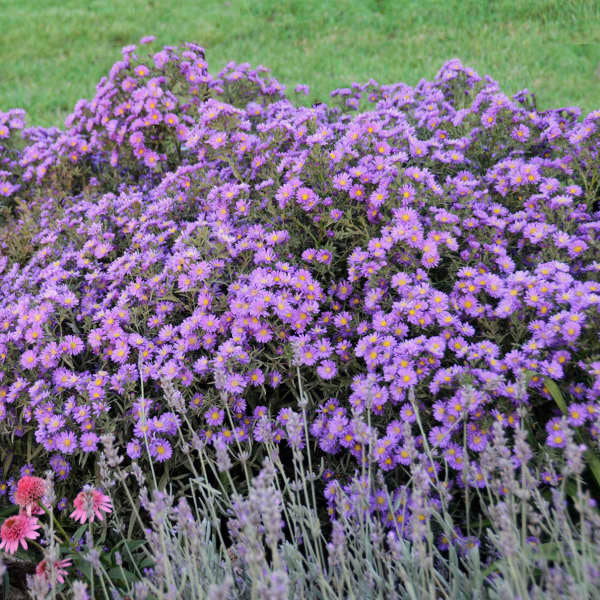 Aster Kickin Lilac Blue is a long blooming native perennial with purple blue daisy like blooms in autumn