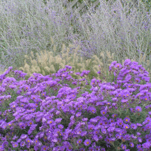 Purple Dome Aster is smothered in purple blooms in fall!