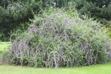 Load image into Gallery viewer, Buddleia alternifolia 'Argentea' - Silver Spring Fountain Butterfly Bush
