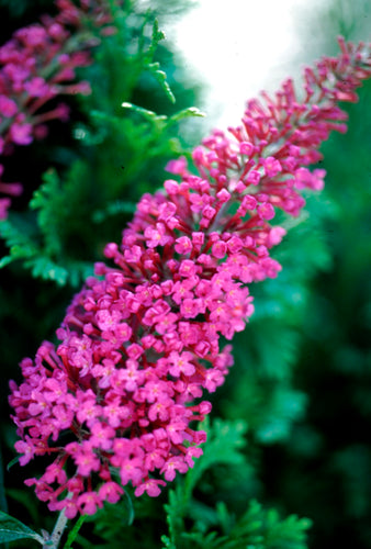 Attraction is a butterfly bush with bright pink flower spikes in summer