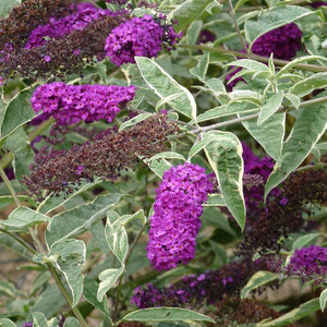 Buddleia 'Harlequin' - Butterfly Bush