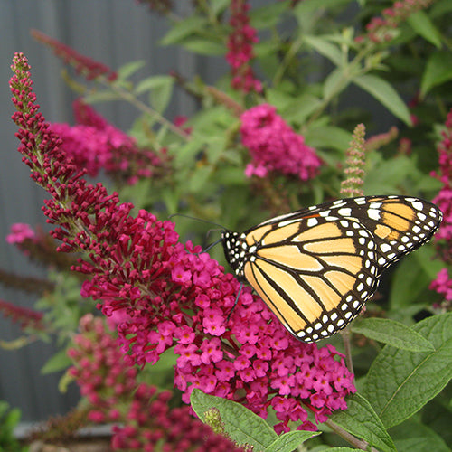 Miss Molly butterfly bush with a monarch butterfly