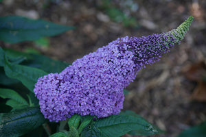 Closeup view of one of the very large purple inflorescences of Pugster Amethyst butterfly bush