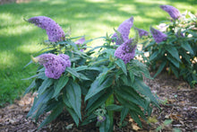 Load image into Gallery viewer, Two Pugster Amethyst butterfly bushes blooming in a sunny garden