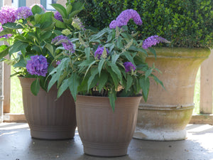 Pugster Amethyst butterfly bush being grown in a container on a patio