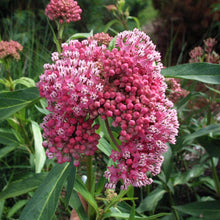 Load image into Gallery viewer, Cinderella Swamp Milkweed is essential for monarch butterflies