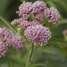 Load image into Gallery viewer, Cinderella Swamp Milkweed has pink flowers