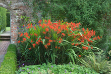Load image into Gallery viewer, A big patch of Lucifer crocosmia in bloom with bright red flowers