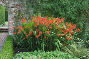 A big patch of Lucifer crocosmia in bloom with bright red flowers