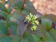 Load image into Gallery viewer, Closeup of the small yellow flowers of Kodiak Black diervilla being pollinated by a bumblebee.