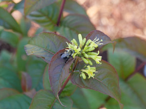 Closeup of the small yellow flowers of Kodiak Black diervilla being pollinated by a bumblebee.