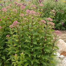 Load image into Gallery viewer, Little Joe Joe Pye weed is a dwarf selection with thick foliage and pink blooms