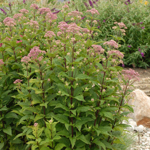 Little Joe Joe Pye weed is a dwarf selection with thick foliage and pink blooms
